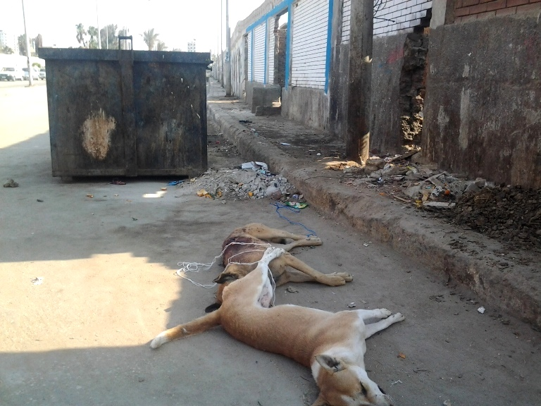 Bodies of dead dogs left on the streets of Egypt to rot.