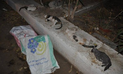 Cats poisoned at an upscale sporting club in Zamalek. Photo: Rania El-Kordy