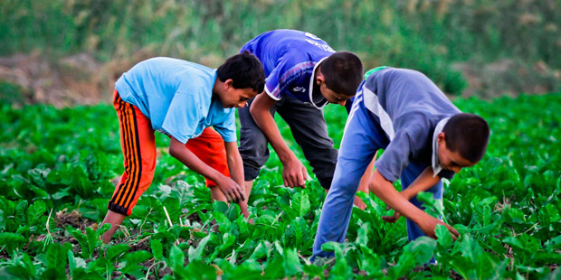 Children Weeding In A Beet Field In Fayoum Governorate (Delta) - Photo By Hussein Tallal