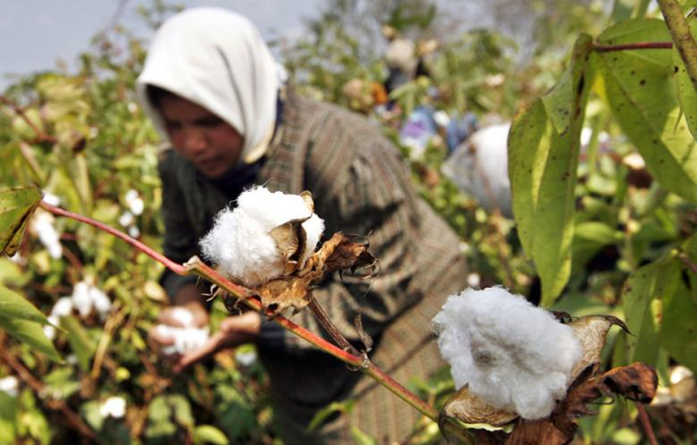 An Egyptian farmer collects the cotton harvest at a farm in al-Massara village near the Nile delta city of Mansura, north of Cairo. (Photo: AFP - Khaled Desouki)