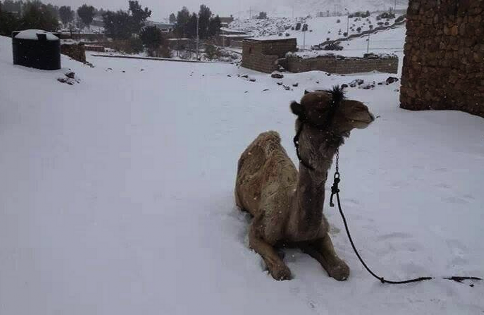 A camel surrounded by snow that covered Saint Catherine in Sinai, Egypt in 2012.