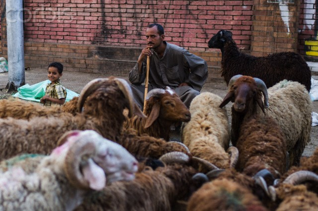 An Egyptian man waits with his son to sell sheep ahead of Muslim festival of Eid Al-Adha at a street market in Cairo, Egypt. PHOTO: Xinhua News Agency.