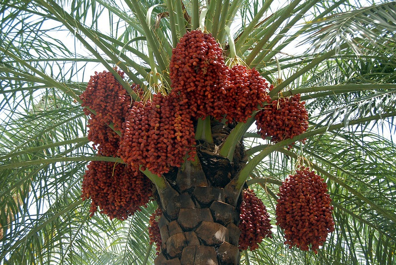 Red dates, which are symbolic of the martyrs' suffering,  are traditionally eaten during Nayrouz in Egypt