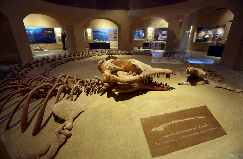 "Skulls of two Basilosaurus Whales are displayed at the Wadi Al-Hitan Fossil and Climate Change Museum in the natural reserve area of Wadi Al-Hitan, or the ""Valley of the Whales"", at the desert of Al Fayoum Governorate, southwest of Cairo, Egypt, January 14, 2016 (Reuters)"