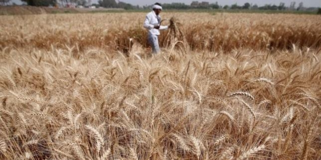 A farmer harvests wheat on Qalyub farm in the El-Kalubia governorate, northeast of Cairo, Egypt May 1, 2016. REUTERS/AMR ABDALLAH DALSH