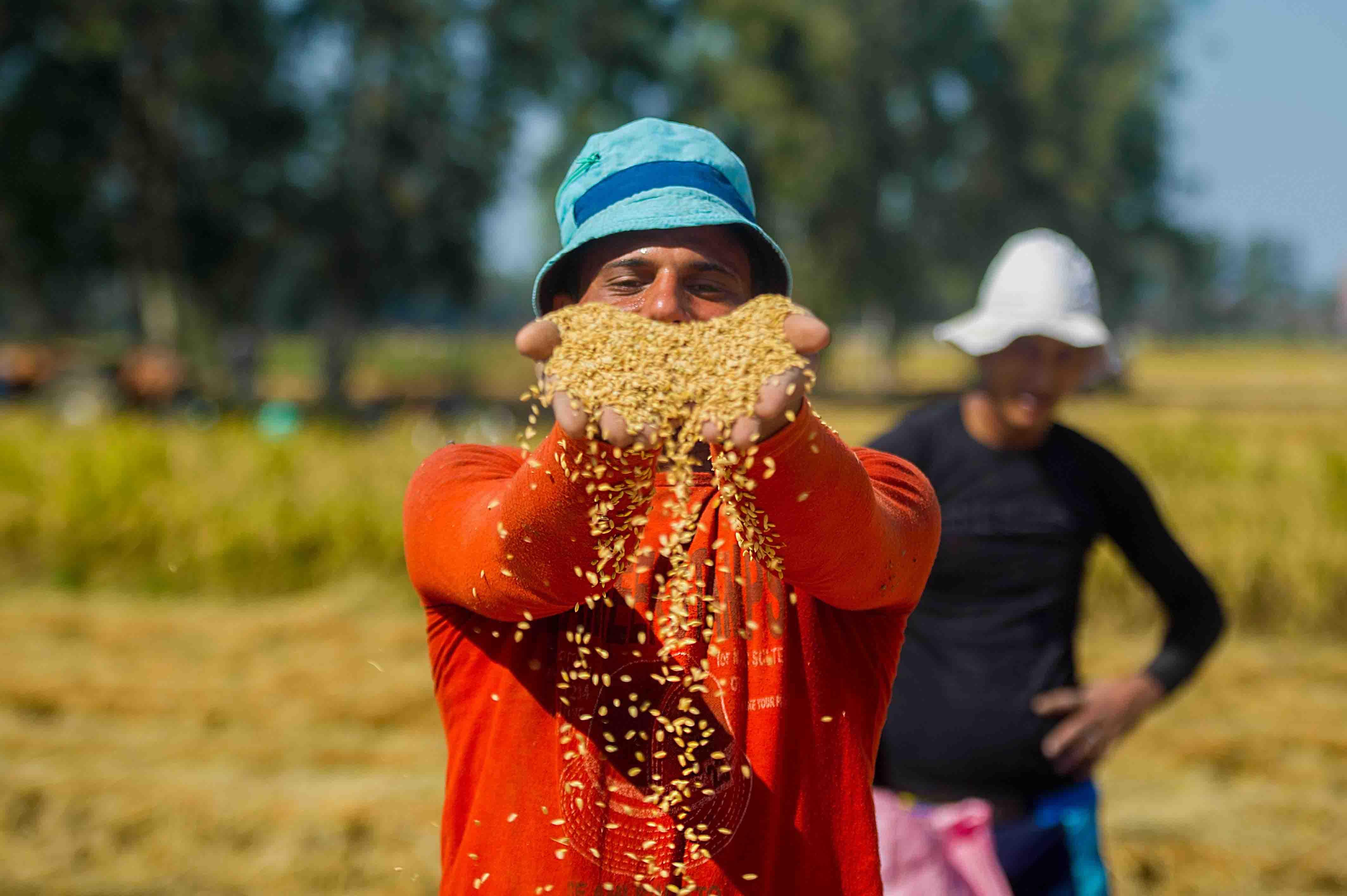 rice-harvest-10
