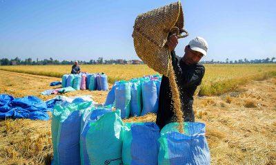 rice-harvest-14