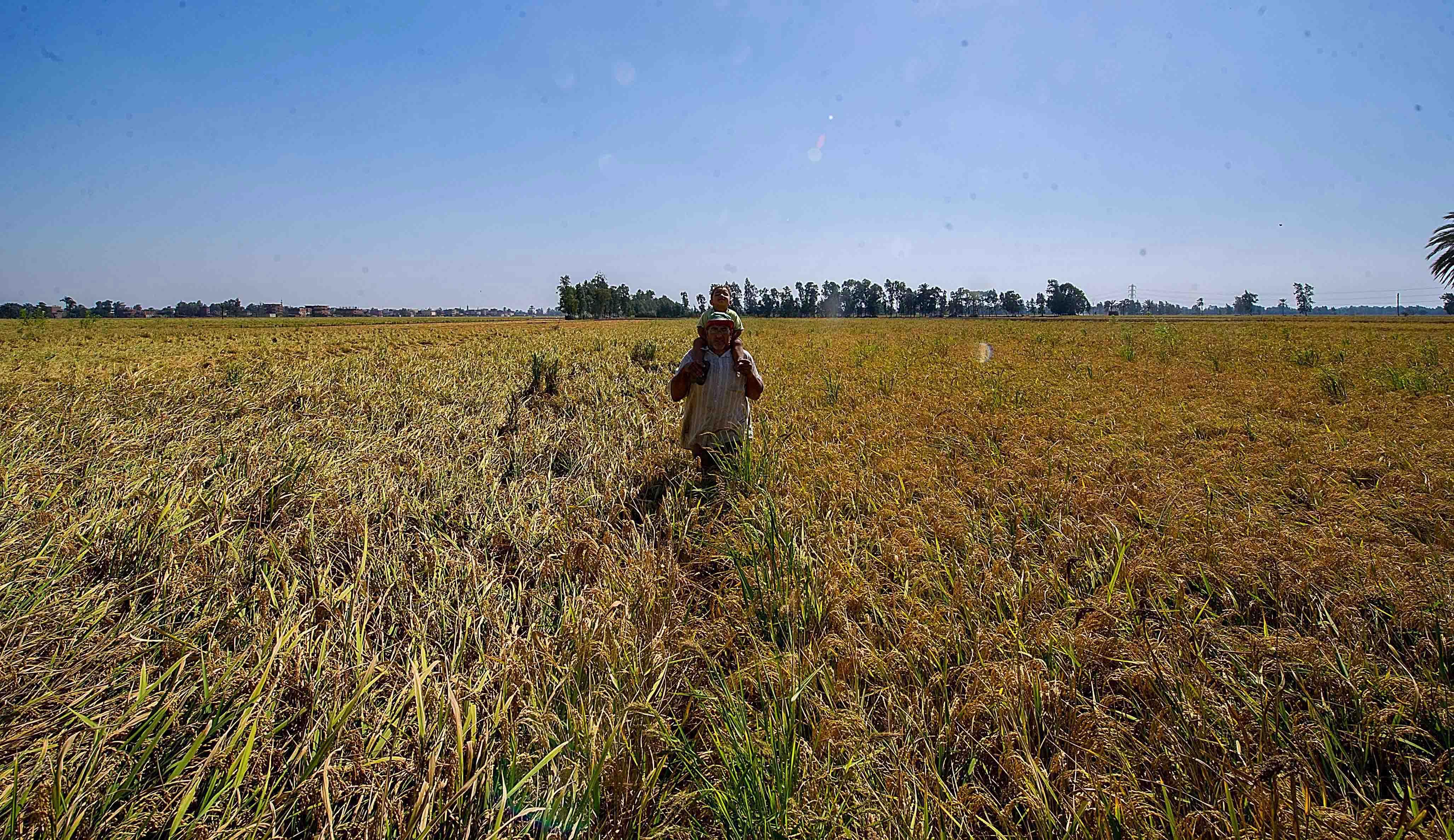 rice-harvest-2