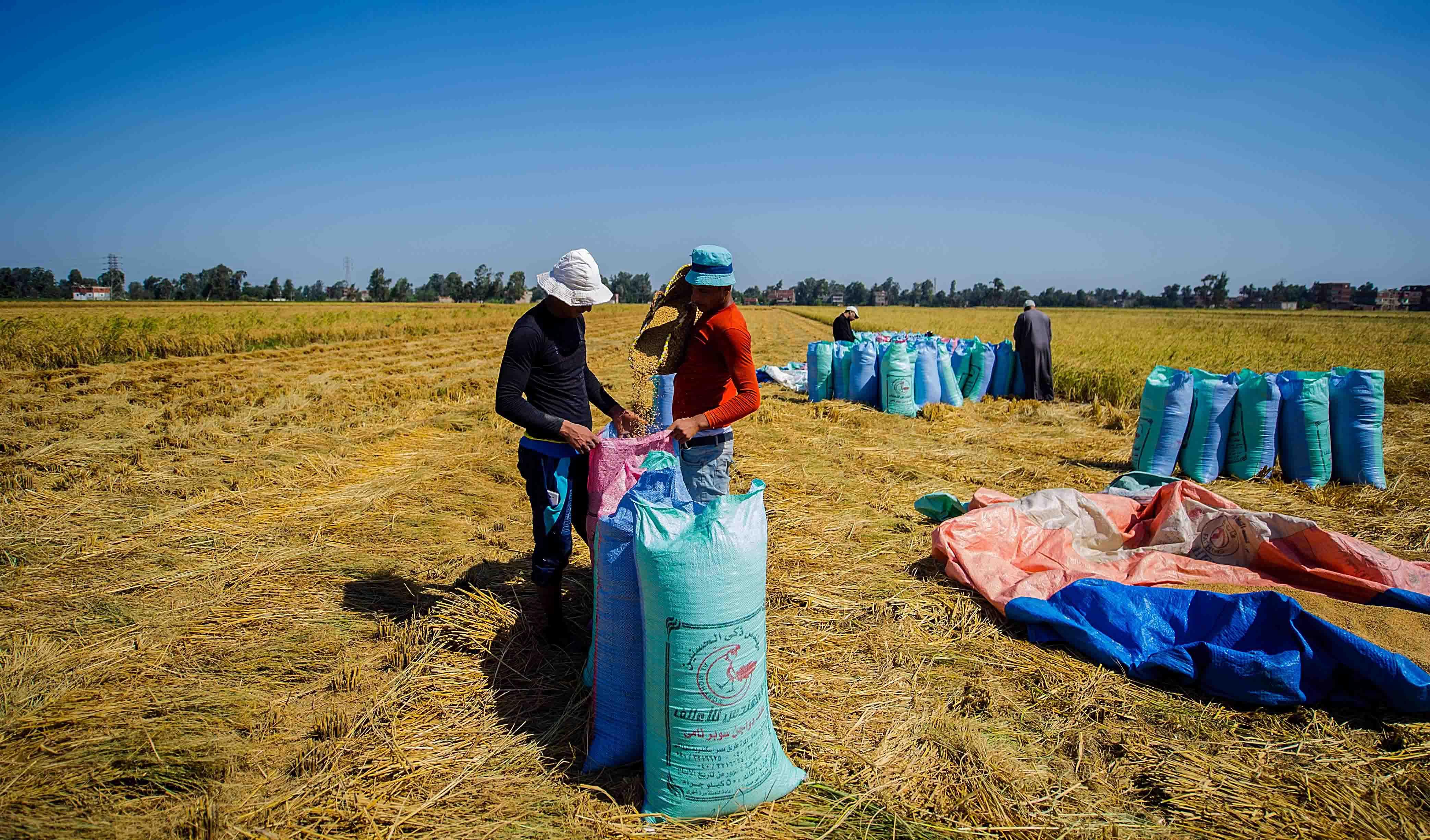 rice-harvest-8