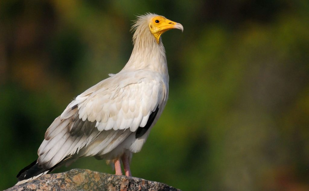 from mythical creature to endangered species  the egyptian
